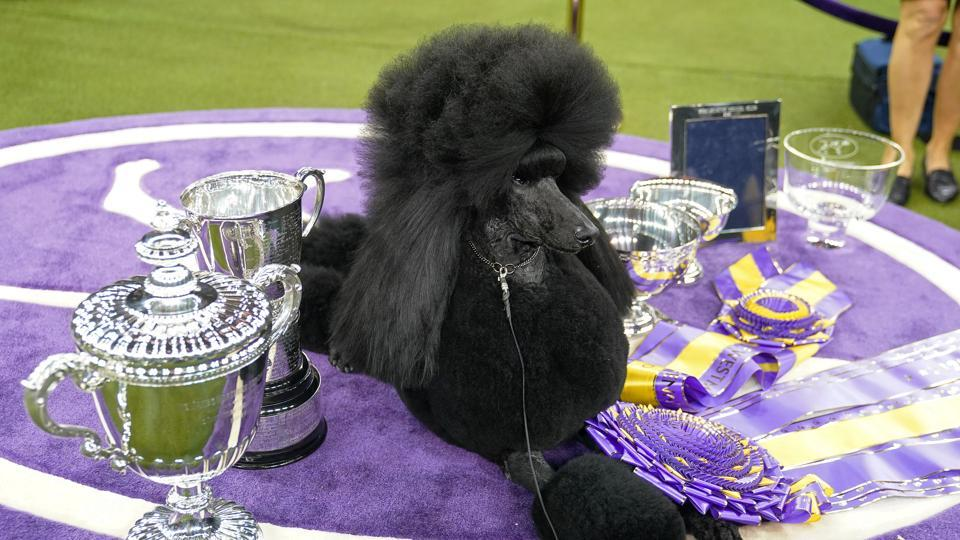 Siba the Standard Poodle, winner of Best in Show, poses with trophies and awards.