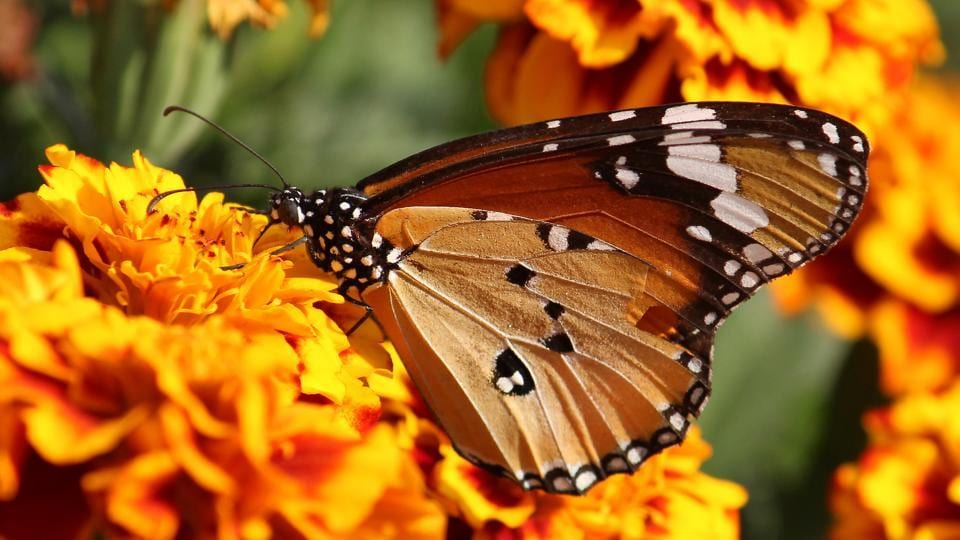 Monarch butterfly sucks nectar from a flower