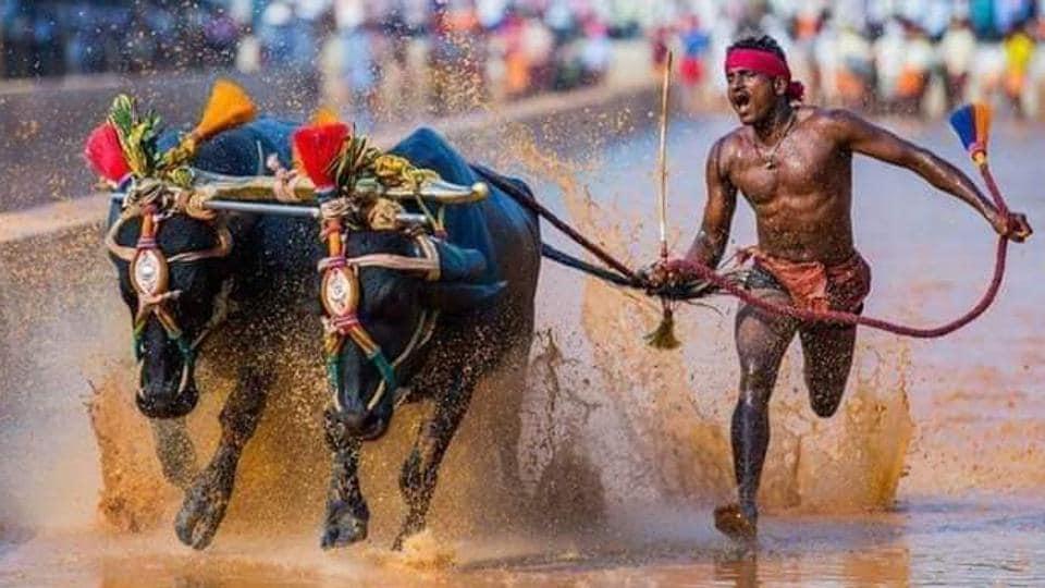 Srinivasa Gowda running at'Kambala' or buffalo race in a slushy paddy field.