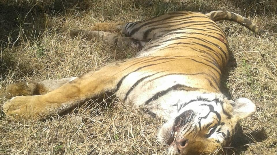 This image of the dead tigress has sparked debates regarding how Jharkhand has failed to carry out tiger surveys in Palamau reserve.