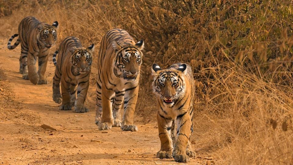 The report said from the factual analysis of the ground situation the tiger reserve administration reached the conclusion that relatively young tigers (aged between 2-3 years) have become more aggressive as they failed to establish their territory.
