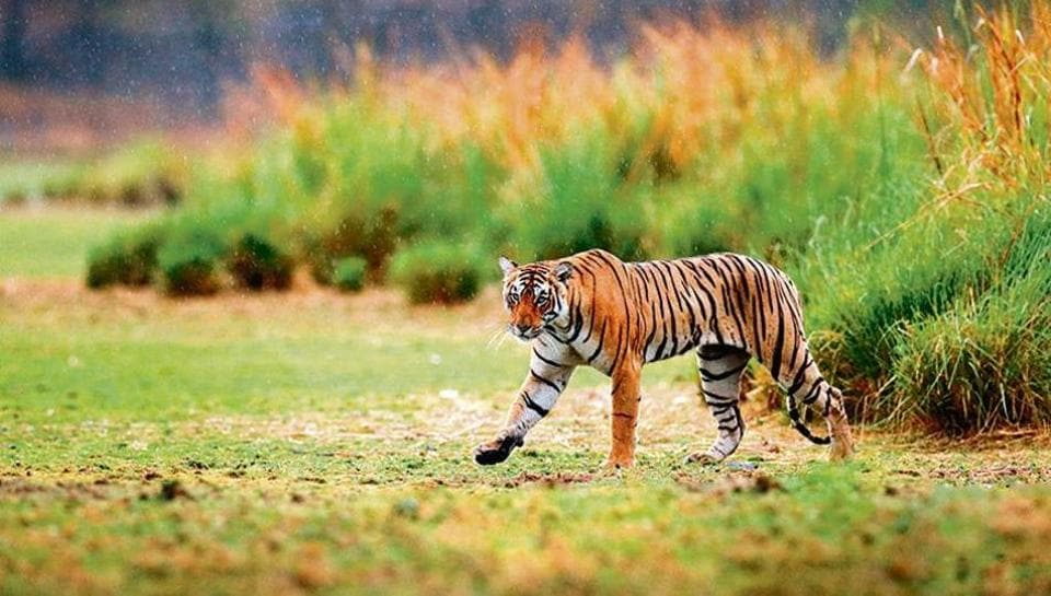 Pilibhit Tiger Reserve is among the wildlife habitats that have reported the highest number of human casualties.