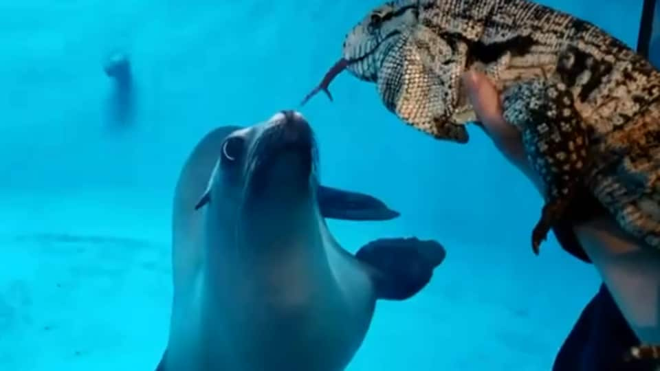 The image shows a sea lion and a lizard looking at each other.