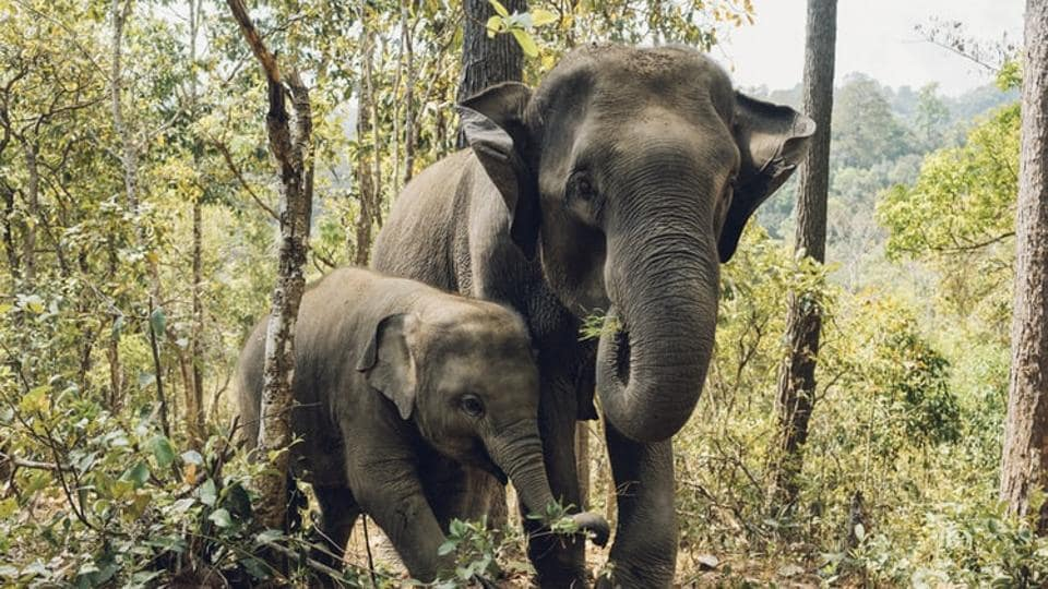 Before the virus, life for the kingdom's estimated 2,000 elephants working in tourism was already stressful, with abusive methods often used to 'break them' into giving rides and performing tricks at money-spinning animal shows.