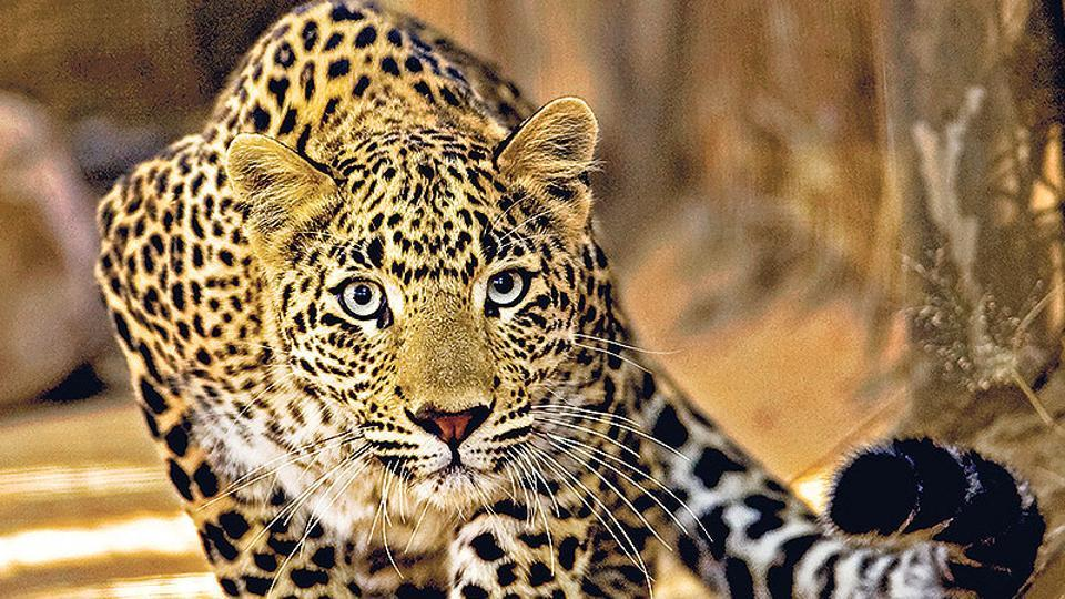 The forest department  rescued a leopard after it attacked and injured two persons in a village in Vaishali district.