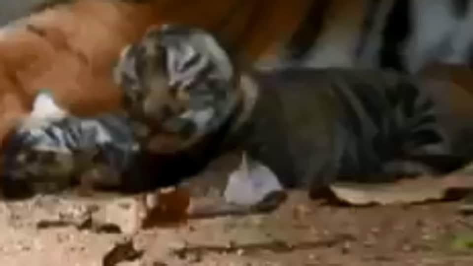 The image shows a newborn tiger cub.