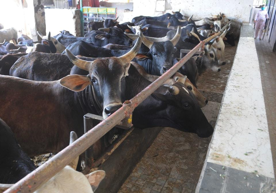 Presently, the shelter hosts more than 1,000 cows and for each cow, around 25kg fodder, including 15kg green grass and 10kg dry grass, is required per day.