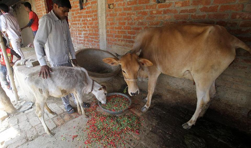 Farmers mostly pick heifers (young cows that have not yet had a calf), milch cows or pregnant cows.
