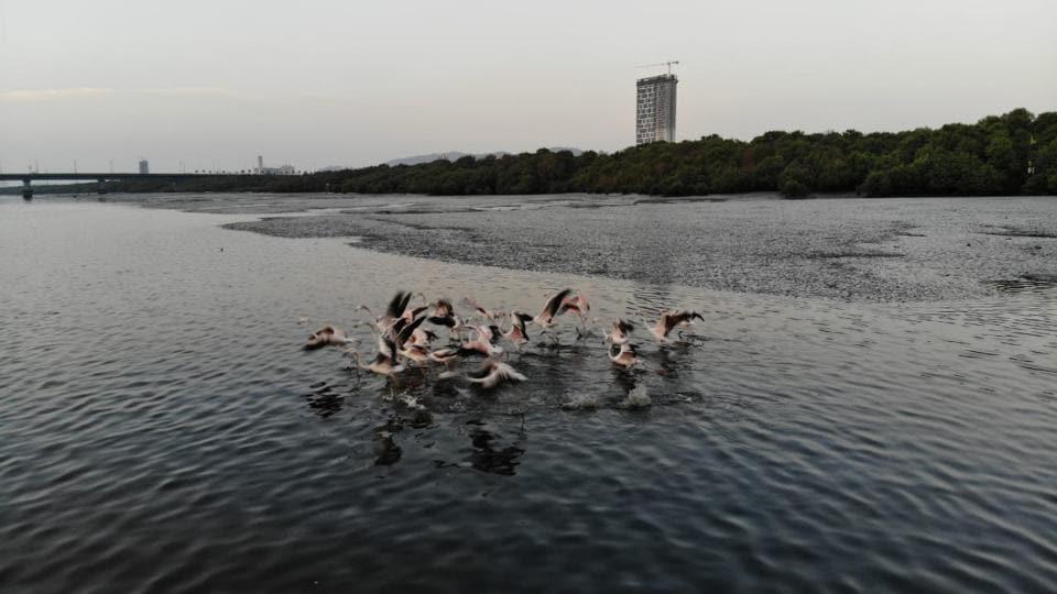 Flamingos spotted at Thane creek