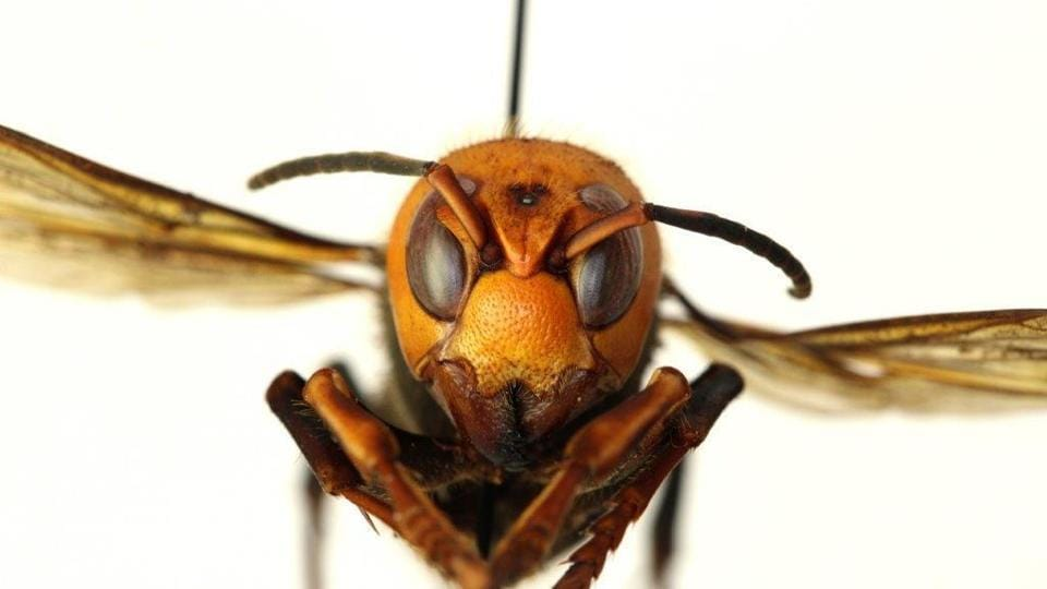 A murder hornet present a danger to agriculture and the apiary industry.