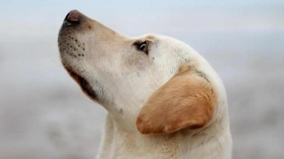 Dogs' ability to sniff out whether people are infected with Covid-19 will be put to the test by British researchers, in a bid to develop a fast, non-invasive means of detecting the disease.