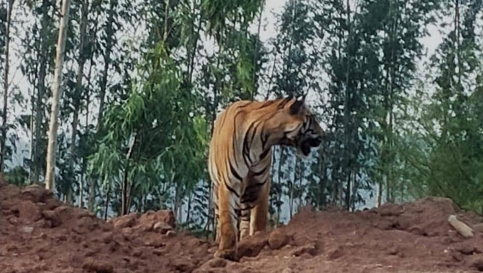 A video and pictures of the tiger sitting on a heap of mud adjacent to the road, closer to the Tiryani forests, went viral on social media.