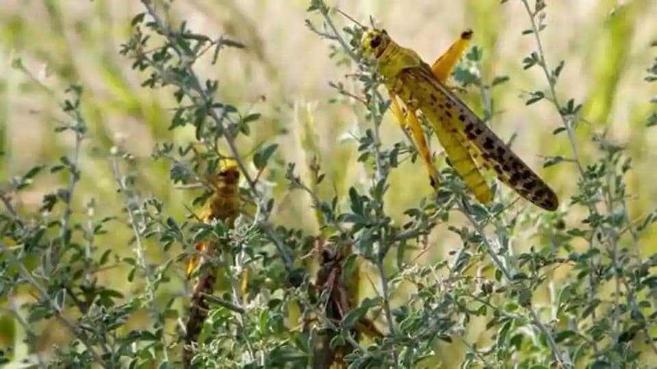 Locusts can fly up to 150 km daily and a one square km swarm can eat as much food as 35,000 people in terms of weight in a single day, according to the Food and Agriculture Organization (FAO)'s Desert Locust Information Service bulletin.