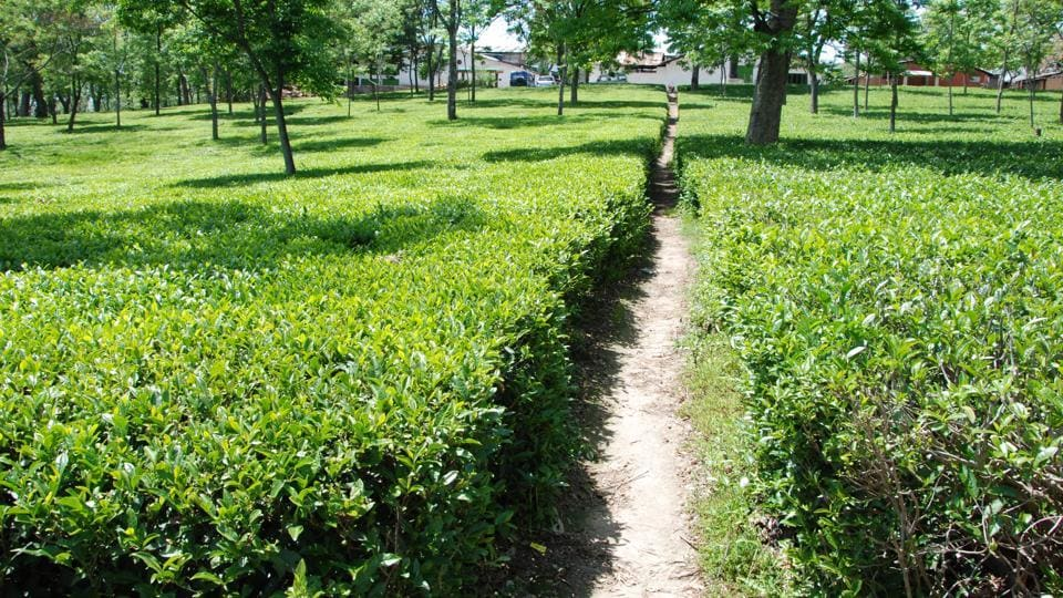 Kangra Tea is farmed at a geographically small area in the Kangra district of Himachal Pradesh.