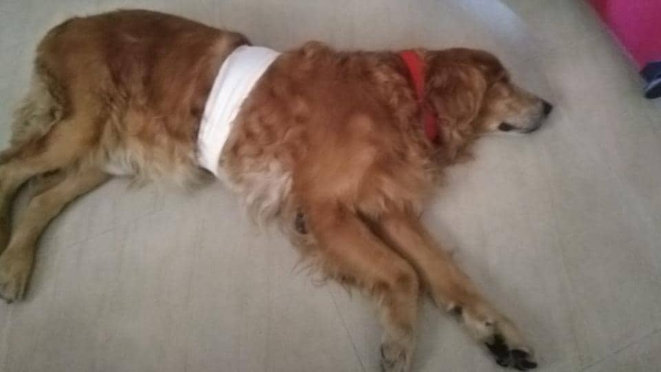 Recently in Sangvi, a nine-year-old golden retriever was found with a note around his neck where his (dogs) details and Animal Rescue Trust's number was written.