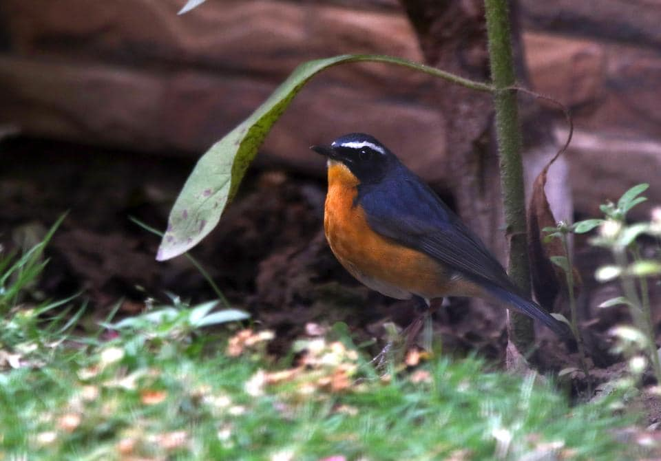 A migratory Indian Blue robin in a Mohali lawn.