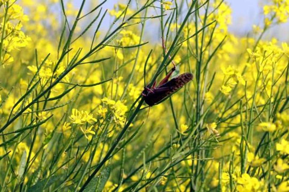 The crop munching insects currently headed to Dausa and Karauli districts in Rajasthan may tilt direction towards Delhi if wind patterns change, experts have warned.