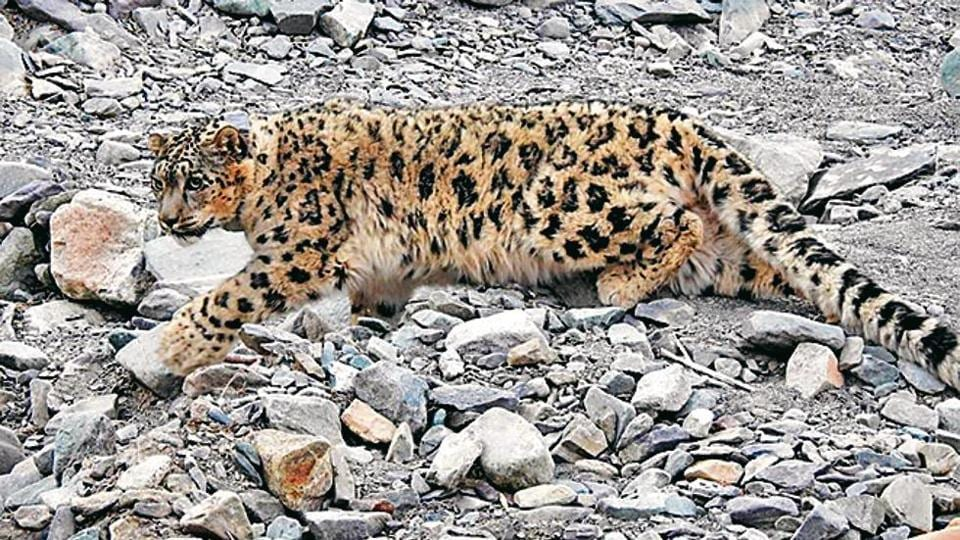 Out of the nine conflicts with habitation, six had to be caught and moved to a rescue centre in Leh.