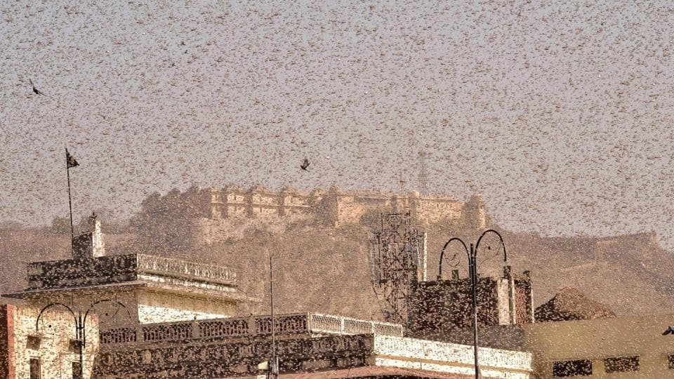 Swarms of locust in the walled city of Jaipur, in Rajasthan on Monday.