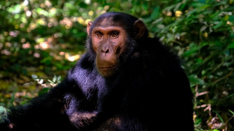 In a study conducted by a group of researchers, one of the most promising theories for the evolution of human speech has finally received support from chimpanzee communication.
