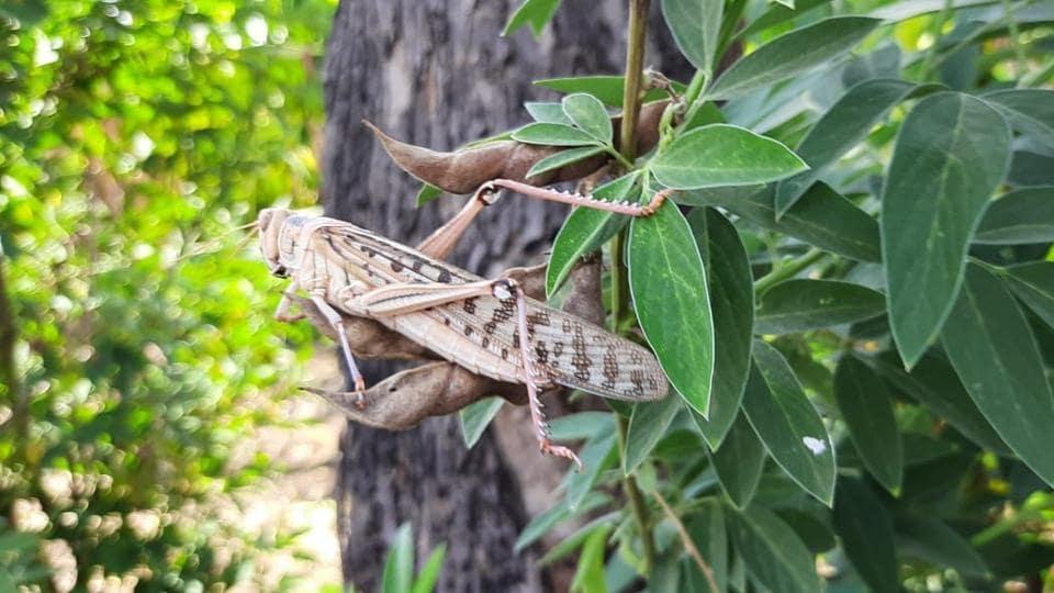 The locusts have invaded six talukas across three districts — Amravati, Wardha and Nagpur — in Vidarbha.