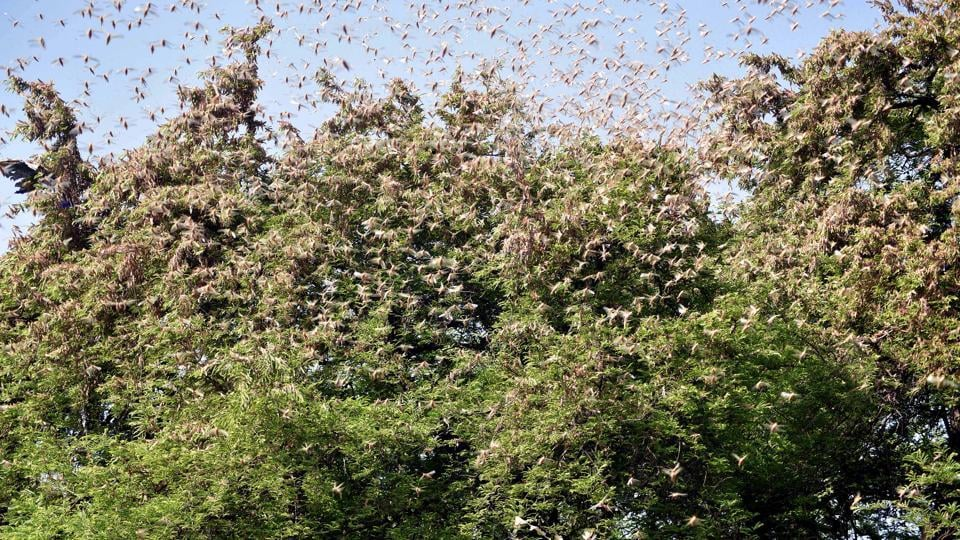 Huge swarms of locusts sitting on the trees in the village in Jaipur on Monday.