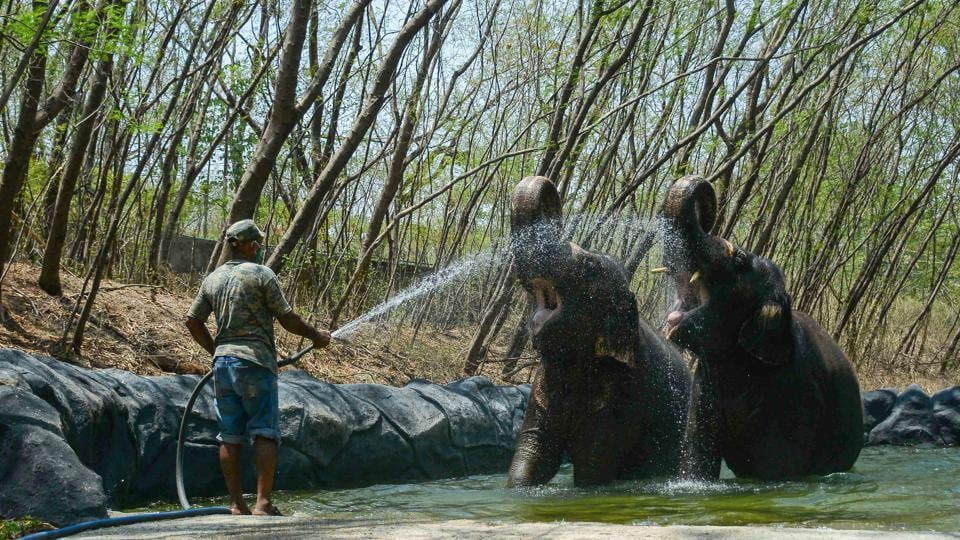 A staff member sprays water on elephants at the Rajiv Gandhi Zoological Park and Wildlife Research Centre at Katraj in Pune on May 26. Animal exchange and other development programmes at the zoo in Katraj have come to a halt due to Covid-19 and a drop in revenue. (Milind Saurkar / HT Photo)