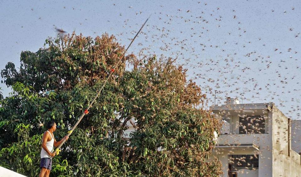 Swarms of desert locusts have devastated crops in India's heartland, threatening an already vulnerable region that is struggling with the economic cost of coronavirus lockdown.