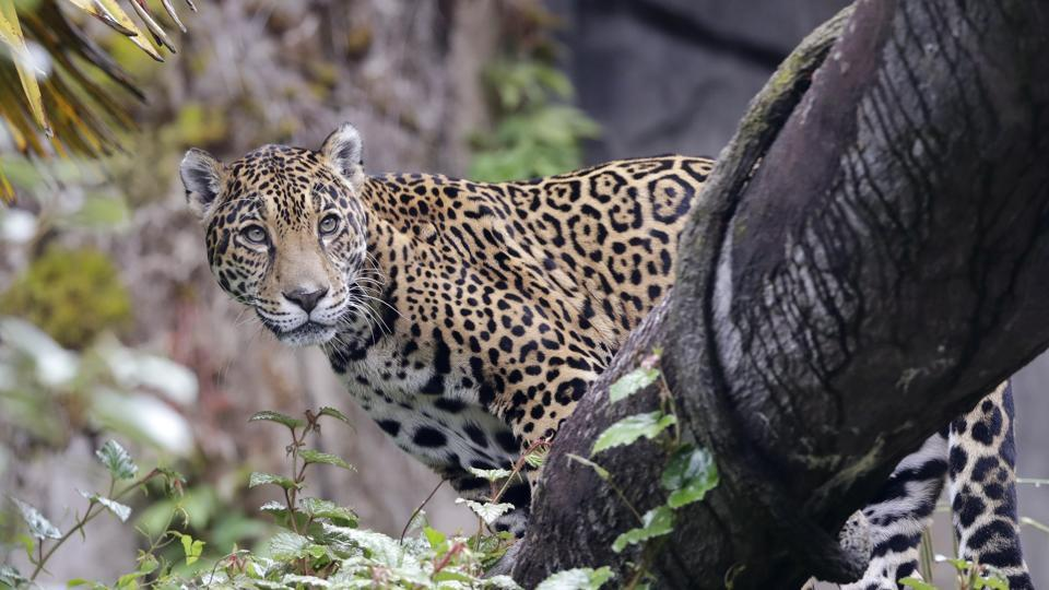 A jaguar looks down from a log perch from inside an enclosure at the Woodland Park Zoo, closed for nearly three months because of the coronavirus outbreak, Tuesday, May 26, 2020, in Seattle. King County remains in phase one of Gov. Jay Inslee's four-phase plan to reopen Washington's economy. The soonest King County could conceivably move to the next phase is Monday, but that's unlikely. (AP Photo/Elaine Thompson) (AP)