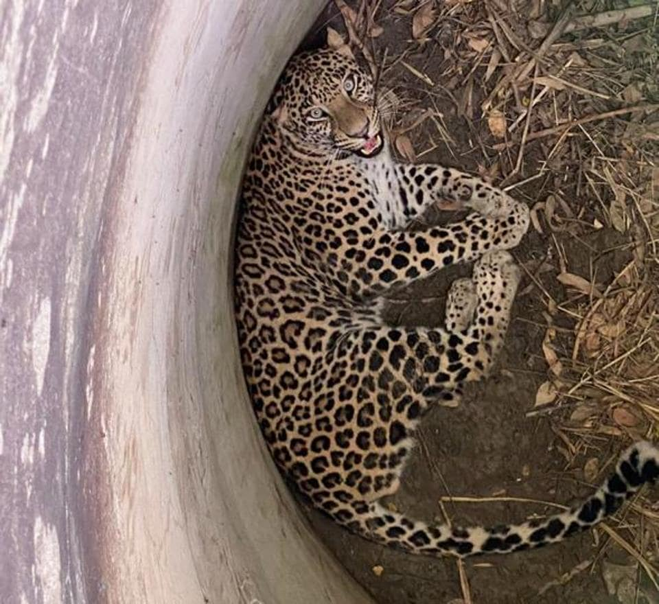 The leopard was given a medical examination by the veterinary team and then transported to the forest range office in a transport cage.