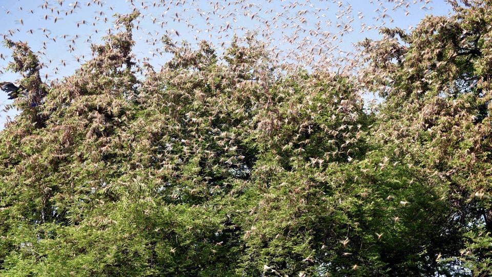 Huge swarms of locusts sitting on the trees in the village in Jaipur