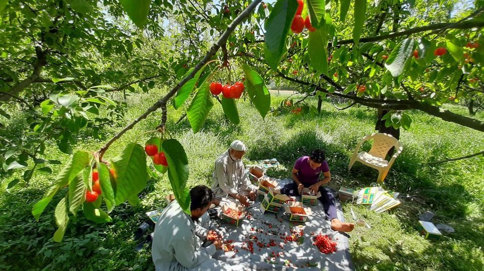 Farm workers sit in an orchard to sort and pack freshly harvested cherries in Lar town, Jammu & Kashmir, on May 26. The cherry crop in Kashmir valley is ripe with abundant fruit but farmers fear losses this year due to difficulties in produce making its way to markets because of lockdown restrictions. (Waseem Andrabi / HTPhoto)