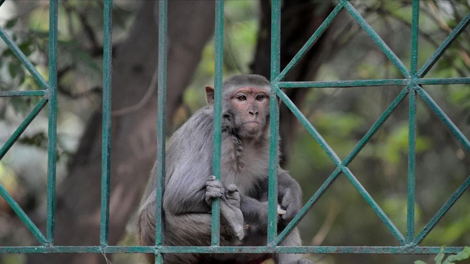 The monkeys tore the kit and tried eating the sample. The matter came into focus after a video of the incident began circulating.