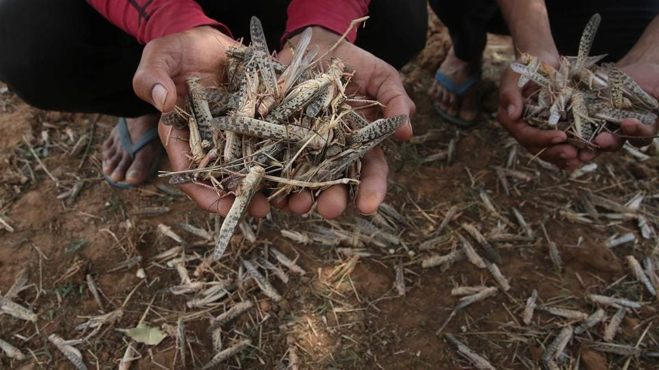 A farmer holds up locusts killed by agriculture department officials using pesticides, at Jarunda village, in Rajasthan's Jaipur, on Friday.