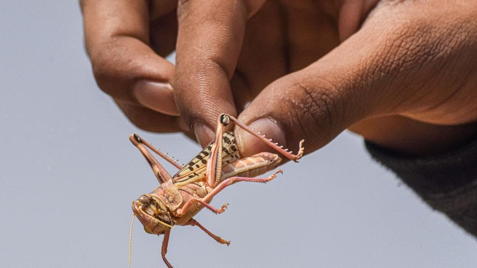 A man holds a locust, in Rajasthan's Bikaner, on Saturday.