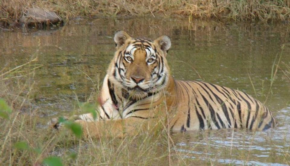 The Corbett Tiger Reserve, located in the northern Indian state of Uttarakhand, epitomizes India's success in saving the endangered Royal Bengal Tiger, the magnificent yellow-and-black striped cat found only in Asia