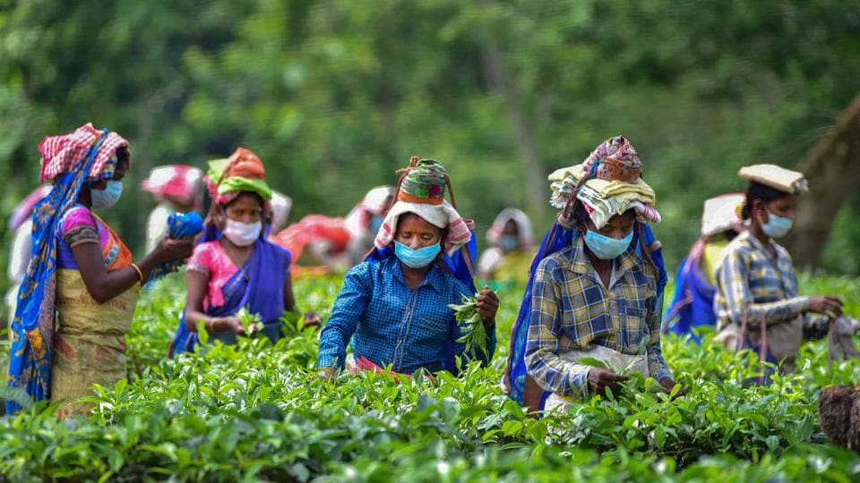 Women workers wearing masks pluck tea leaves at Kondoli Tea Estate, on the first day of Unlock 1 in Nagaon district of Assam on Monday.