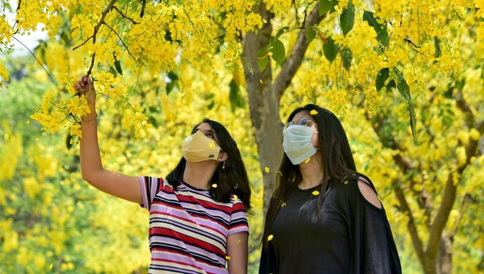 Golden shower: Girls admiring the Amaltas trees on PAU campus in Ludhiana on Monday.