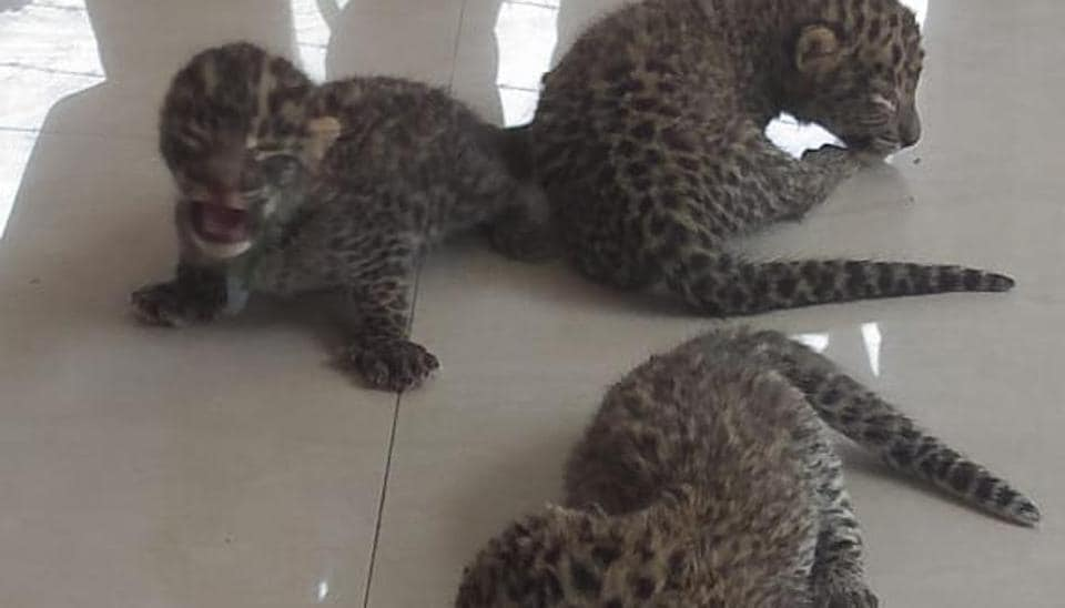 One week old leopard cubs rescued from a sugar field in Bijnor. (representational image)