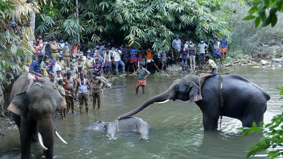 Elephants pulling a 15-year-old pregnant wild elephant who died after suffering injuries, in Velliyar River, Palakkad district of Kerala state on May 27.