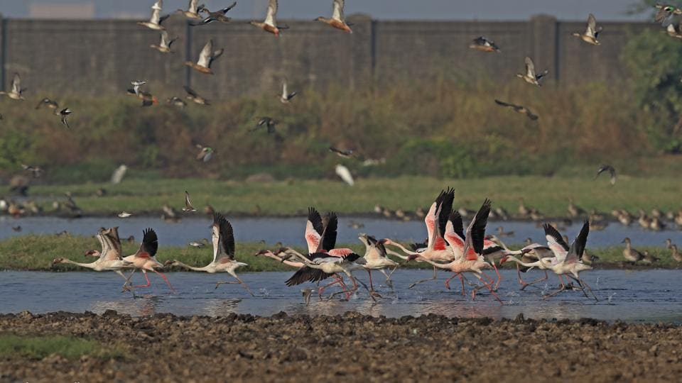 Ornithologist and naturalist Sunjoy Monga said he had received reports of about 1,000 to 1,200 flamingo numbers at Panje.