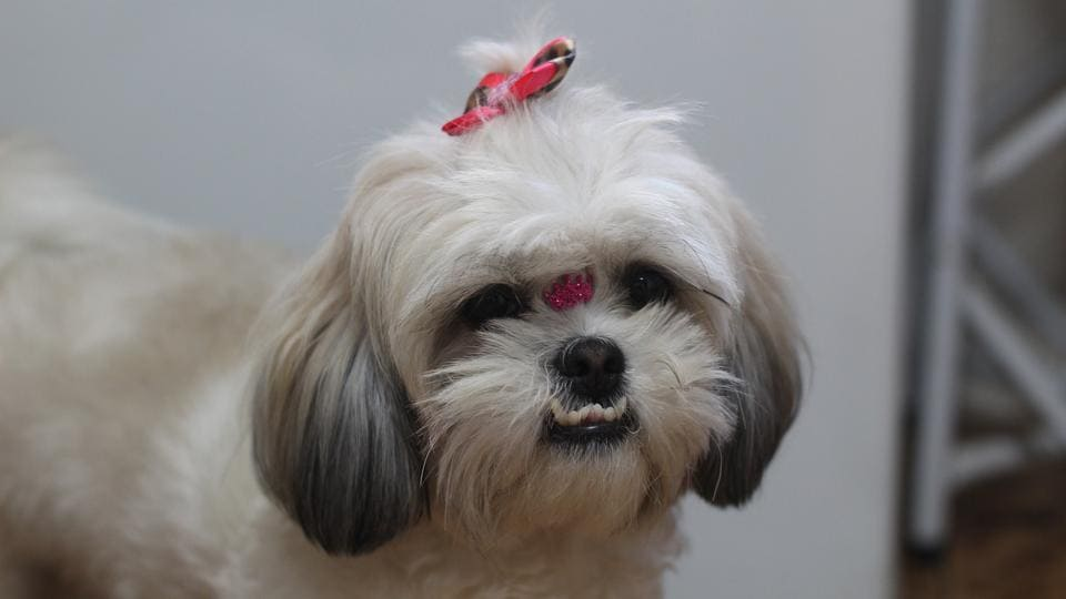 Four pets, including two Shih Tzus, a Golden Retriever and a Lady Pheasant bird are booked on the jet.