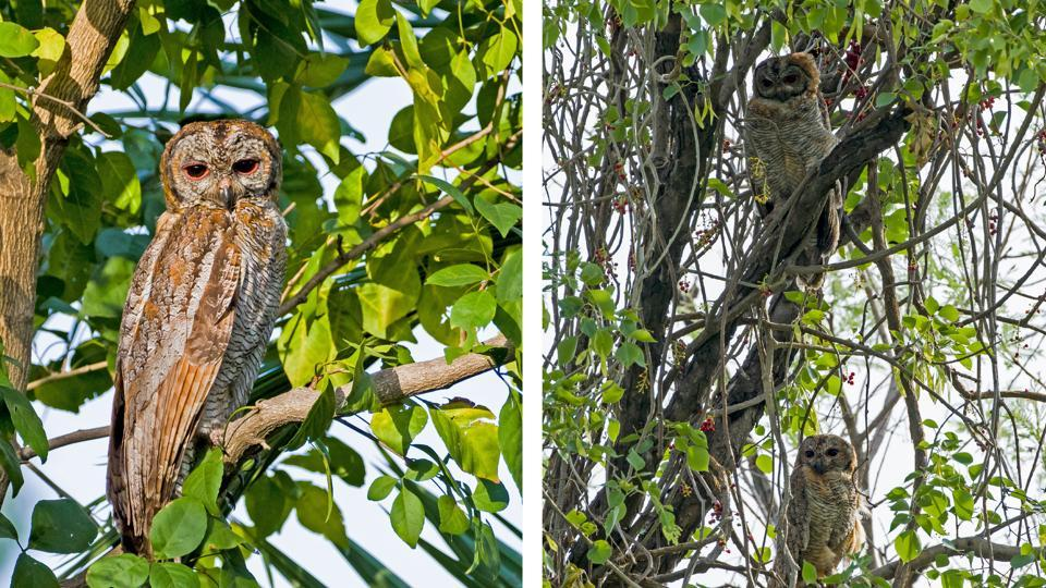 At Peermuchalla forests, the Mottled Wood owl father and (on right) the father with the juvenile owl perched below him.