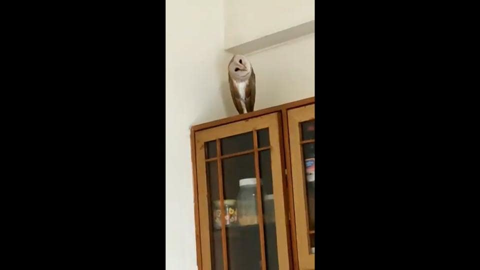 The owl first sat on the floor but eventually made itself comfortable on a cabinet.