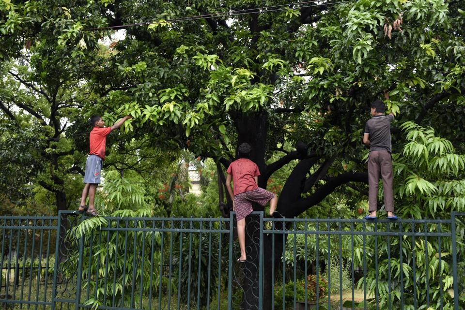 Eternal pleasures:Children picking mangoes.