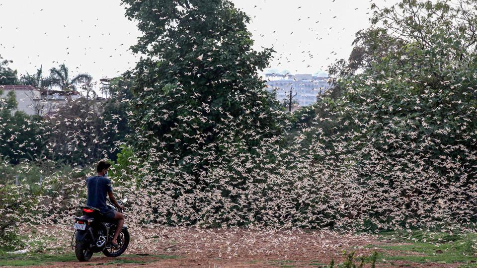A man rides a bike as a swarm of locusts fly over a field in Bhopal.