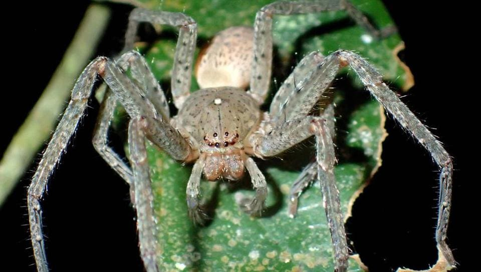 A male Madagascan Huntsman spider (Sparassidae), the new genus named