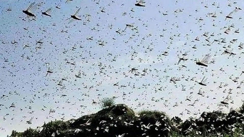 The most threatened states where locust attacks have been curbed are Rajasthan, Punjab, MP, Gujarat, Maharashtra and UP, as the country robustly heads into its summer-sown kharif crop season.