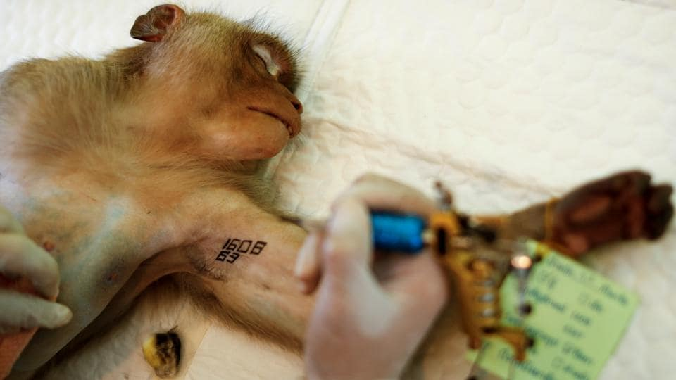 The macaques' mob fights have drawn the attention of authorities, who restarted a sterilisation programme this month after a three-year pause. Wildlife department officers lure the animals into cages with fruit and take them to a clinic where they are anaesthetised, sterilised and left with a tattoo to mark their neutering. (Jorge Silva / Reuters)