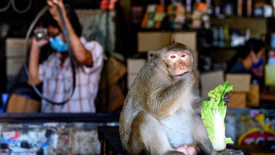 "A longtail macaque eats in a shop in Lopburi on June 20. Taweesak Srisaguan, a local shop owner who uses stuffed animals as a deterrent to the unwanted visitors, told AFP that despite his daily joust with the monkeys, he will miss them if they are moved. ""I'm used to seeing them walking around, playing on the street,"" he said. ""I'd definitely be lonely."" (Mladen Antonov / AFP)"